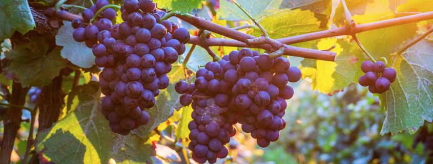 vino_0