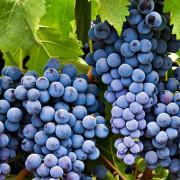 vitivinicola_0